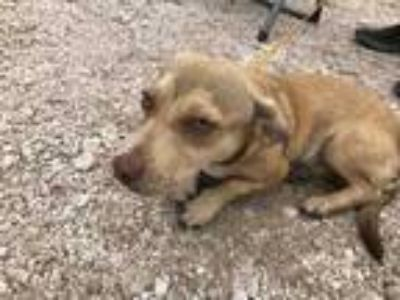Adopt Flint a Tan/Yellow/Fawn Terrier (Unknown Type, Small) / Mixed dog in