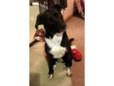 Adopt Marlowe a Border Collie, Labrador Retriever
