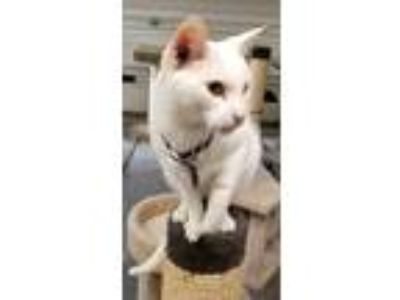 Adopt Day18 a Domestic Shorthair / Mixed (short coat) cat in Youngsville