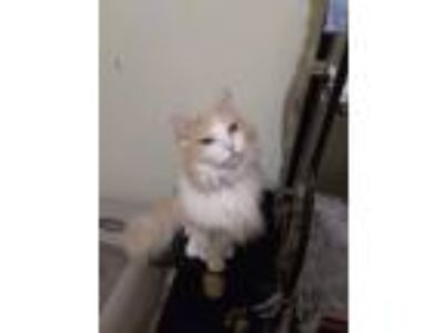Adopt Simba a Tan or Fawn Norwegian Forest Cat (long coat) cat in Huntington