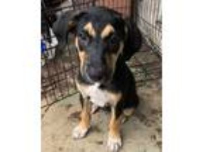Adopt Bailey a Black - with Tan, Yellow or Fawn German Shepherd Dog / Labrador