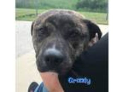 Adopt Grizzly a Labrador Retriever