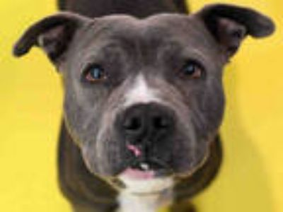 Adopt RUBY a Gray/Silver/Salt & Pepper - with White American Pit Bull Terrier /