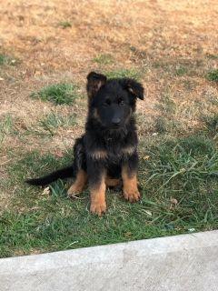 German Shepherd Dog PUPPY FOR SALE ADN-92570 - German Shepherd Puppies