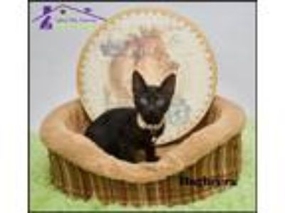 Adopt Bagheera a All Black Domestic Shorthair / Mixed (short coat) cat in