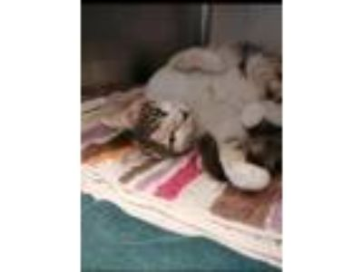 Adopt Jinger a Domestic Short Hair