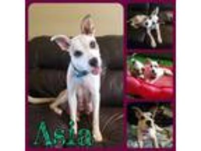 Adopt Asia a Labrador Retriever