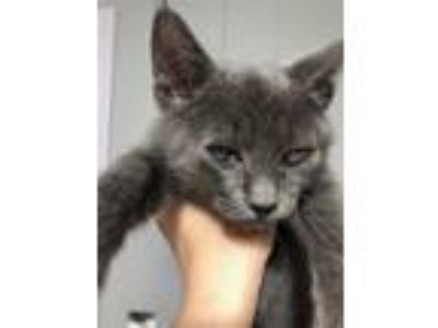 Adopt Sterling a Gray, Blue or Silver Tabby Domestic Shorthair (short coat) cat