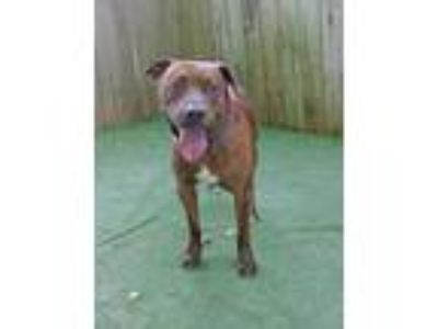 Adopt Bruno a Brown/Chocolate American Pit Bull Terrier / Mixed dog in