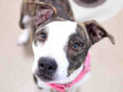 Adopt TYGRA a Brindle - with White American Pit Bull Terrier / Mixed dog in