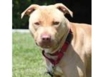 Adopt Noodles a American Pit Bull Terrier / Mixed dog in Vallejo, CA (25842598)