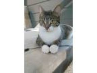 Adopt Lacey a Gray, Blue or Silver Tabby Domestic Shorthair (short coat) cat in