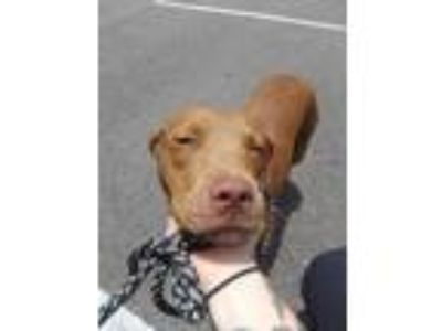 Adopt 41918531 a Red/Golden/Orange/Chestnut Mixed Breed (Large) / Mixed dog in