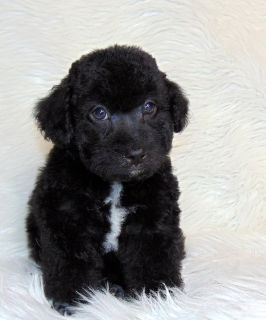 Poodle/black color male