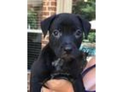 Adopt Gamora, Guardian of the Galaxy a Black Labrador Retriever / Mixed dog in