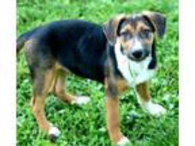 Adopt Boomer a Beagle, German Shepherd Dog