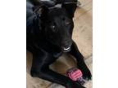 Adopt Ebony a Black Labrador Retriever dog in Westminster, CO (25622622)
