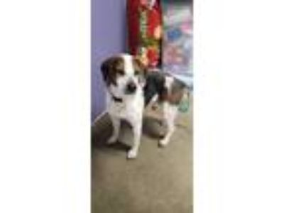 Adopt Puppy a Tricolor (Tan/Brown & Black & White) Beagle / Mixed dog in
