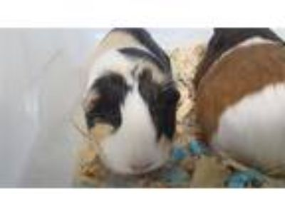 Adopt Bella a Guinea Pig (short coat) small animal in Brooklyn, NY (25823062)