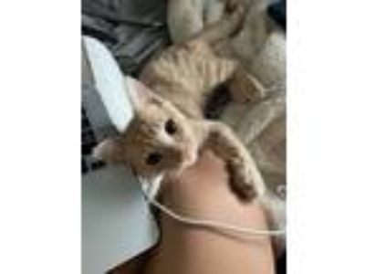 Adopt Samin a Cream or Ivory American Shorthair / Mixed cat in Inwood