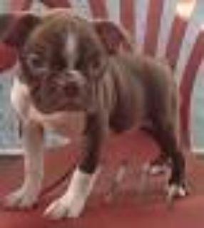 Boston Girl Puppy Red