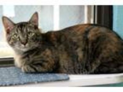 Adopt Erbear a Domestic Short Hair