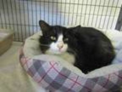 Adopt 41765820 a All Black Domestic Longhair / Domestic Shorthair / Mixed cat in