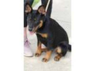 Adopt Aspen a Black - with Tan, Yellow or Fawn Shepherd (Unknown Type) dog in