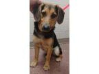 Adopt Cherilee a Black Beagle / Mixed dog in New Albany, IN (25632292)