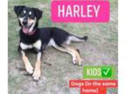 Adopt Harley a German Shepherd Dog, Husky