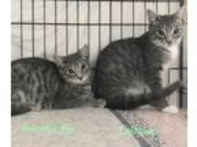 Adopt Lollipop and SweetiePi a Gray, Blue or Silver Tabby American Shorthair
