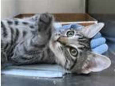 Adopt Teito a Domestic Shorthair / Mixed cat in Mipiltas, CA (25878667)