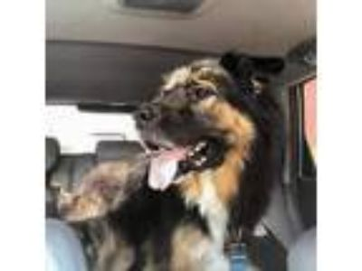 Adopt Jake a Black - with Tan, Yellow or Fawn German Shepherd Dog / Mixed dog in