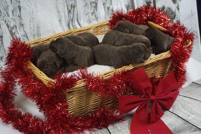 Labrador Retriever PUPPY FOR SALE ADN-108021 - AKC Chocolate Lab Puppies