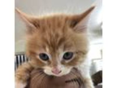 Adopt Ricky a Orange or Red Domestic Shorthair cat in Starkville, MS (25571741)