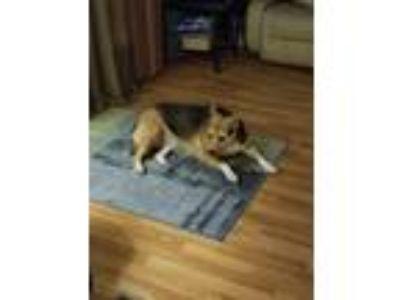 Adopt Big Girl a Black - with Tan, Yellow or Fawn Beagle / Mixed dog in
