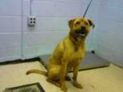 Adopt LUKE a German Shepherd Dog, Mixed Breed