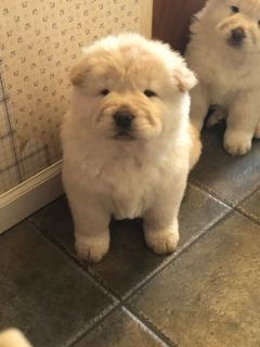 Chow Chow PUPPY FOR SALE ADN-74683 - Chow Chow Puppies