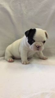 French Bulldog PUPPY FOR SALE ADN-92962 - Female French Bulldog