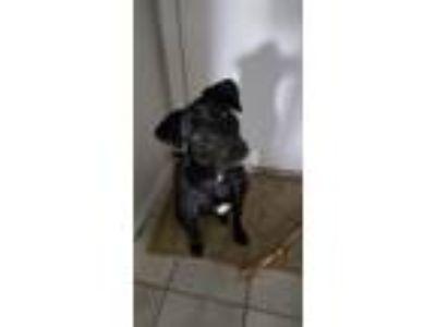 Adopt Bailey a Black - with White Labrador Retriever / Terrier (Unknown Type