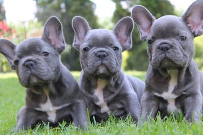 French Bulldog PUPPY FOR SALE ADN-94790 - Male French Bulldog Litter