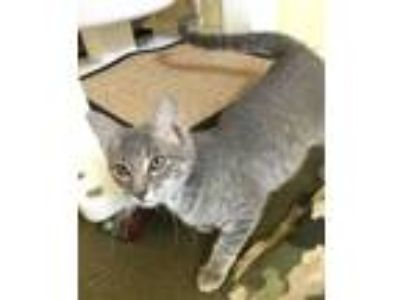 Adopt KRASH a Domestic Short Hair