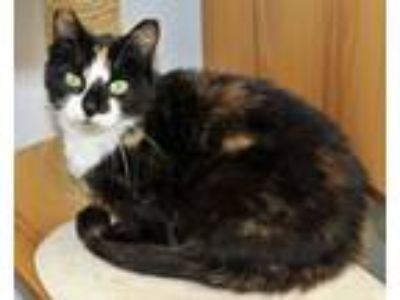 Adopt Peach a Domestic Short Hair, Calico