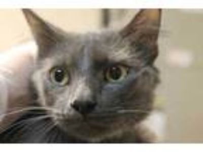 Adopt Doc a Gray or Blue Domestic Mediumhair / Domestic Shorthair / Mixed cat in
