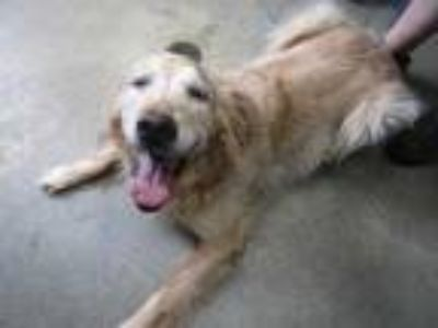 Adopt Marley a Tan/Yellow/Fawn Golden Retriever / Mixed dog in Columbiana