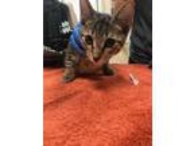 Adopt Bobby a Domestic Short Hair