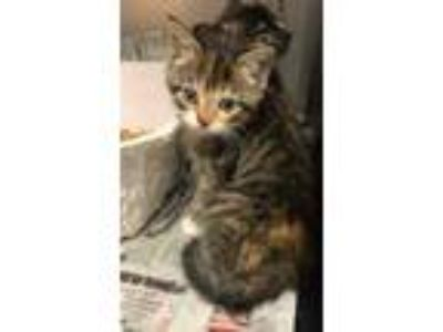 Adopt Tiana a Brown or Chocolate Domestic Shorthair / Domestic Shorthair / Mixed