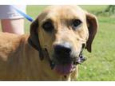 Adopt Misty a Labrador Retriever, Redbone Coonhound