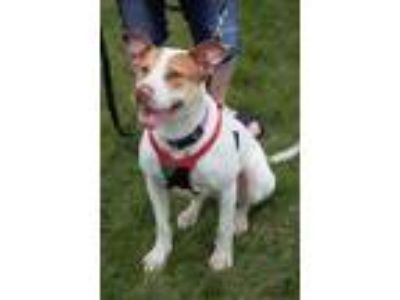 Adopt Sassy a Catahoula Leopard Dog / Mixed dog in Angola, IN (25274152)