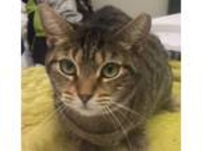 Adopt Katie a Brown Tabby American Shorthair / Mixed (short coat) cat in oakland